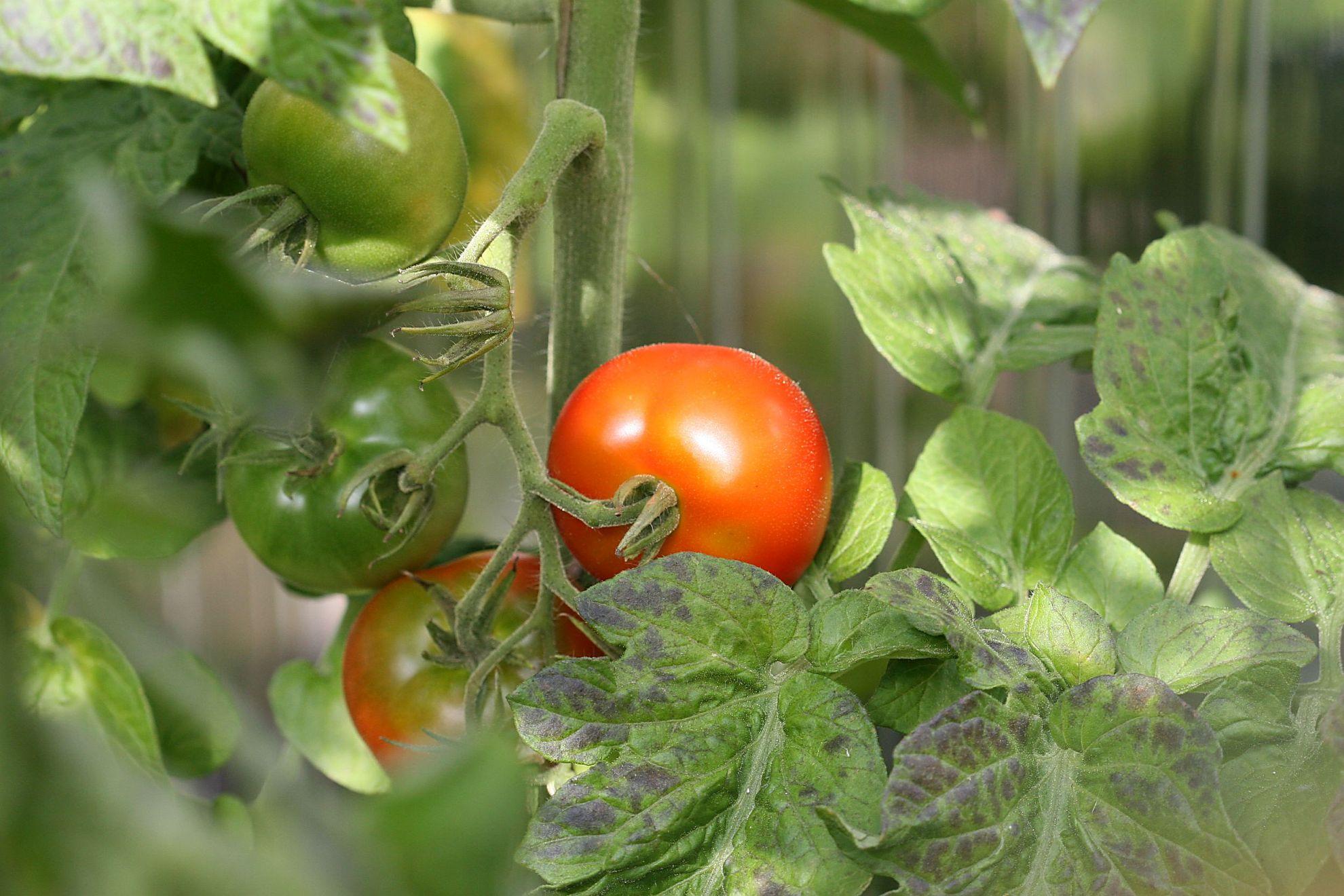 Tomatenwelt ok